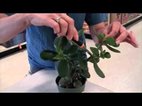 Growing Jade Jade Plant Pruning Jade Plants Gardening Tips