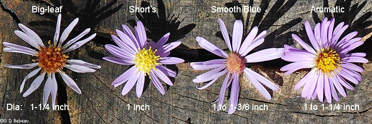 Comparison Of Short S Smooth Blue Aromatic And Big Leaf Aster Flowers Aster Flower Plant Classification Aster