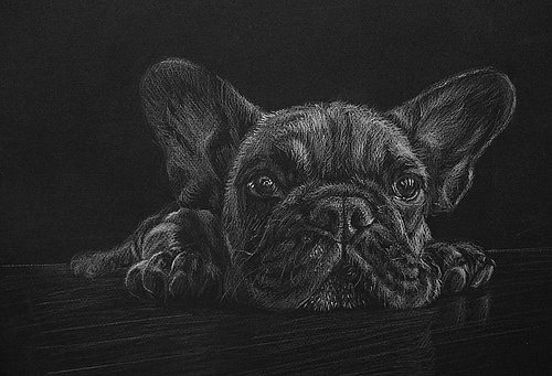 Frenchie In White Pencil On Black Paper Black Paper Drawing