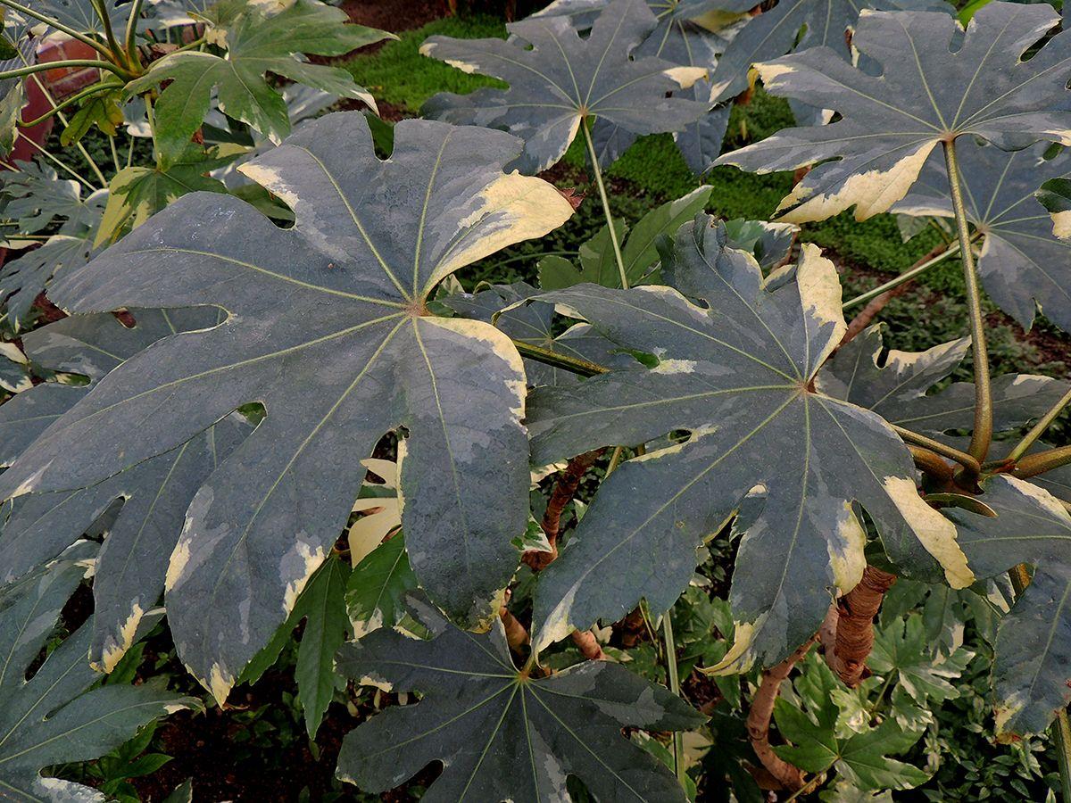 Fatsia japonica variegata- Aralia de Japón. http://www.elhogarnatural.com/Arboles.htm