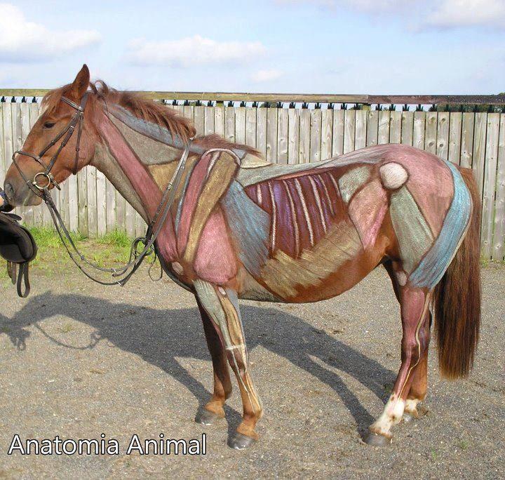 Una forma muy original para estudiar anatomía con equinos ...