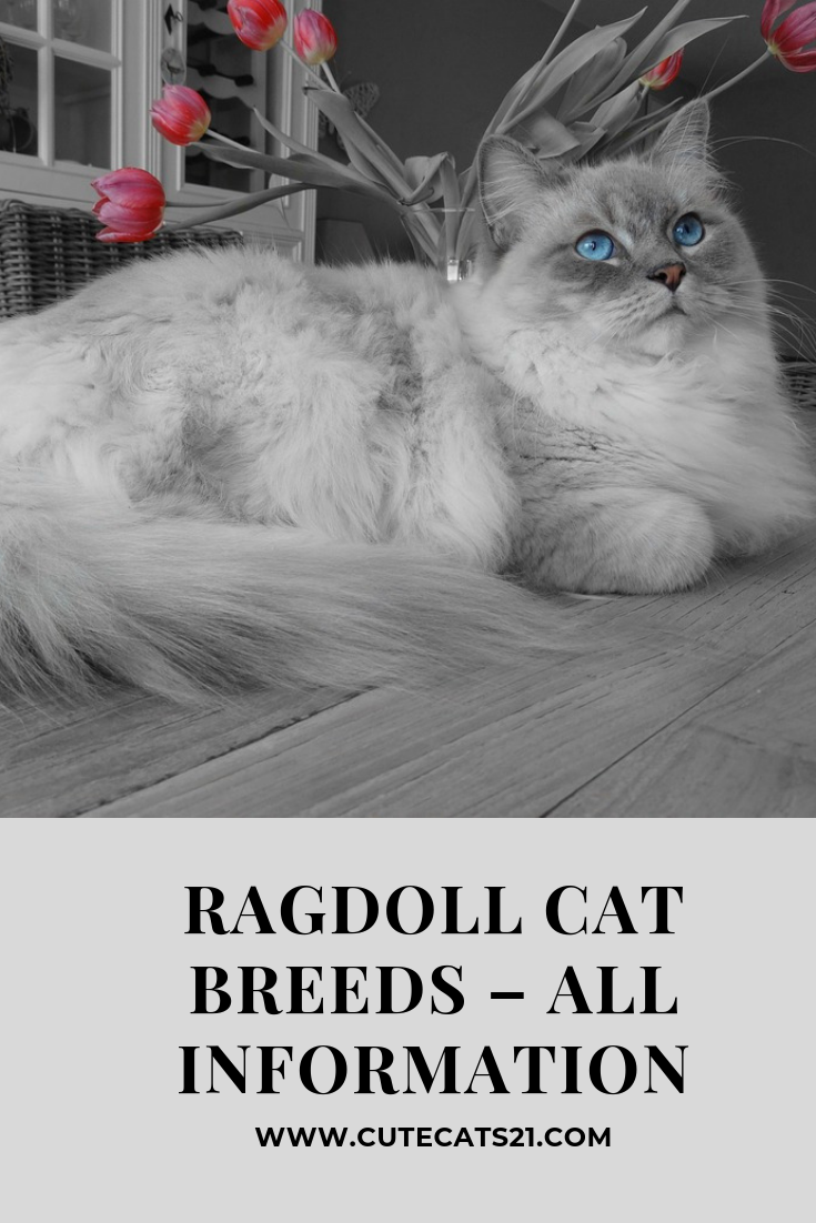 You Will Know All The Information About Ragdoll Cat History Of