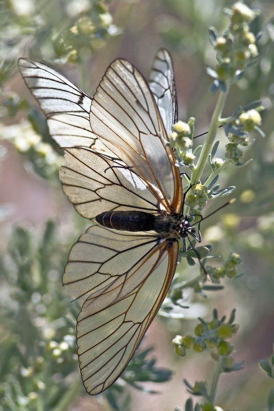 """romanceoftheworld: """" A rare black veined butterfly """""""