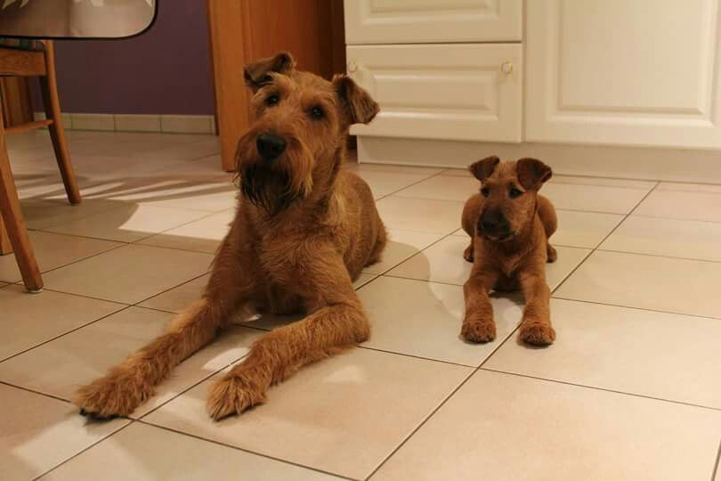 Don T You Just Love These Two Irish Terrier Irish Dog Fox Terrier