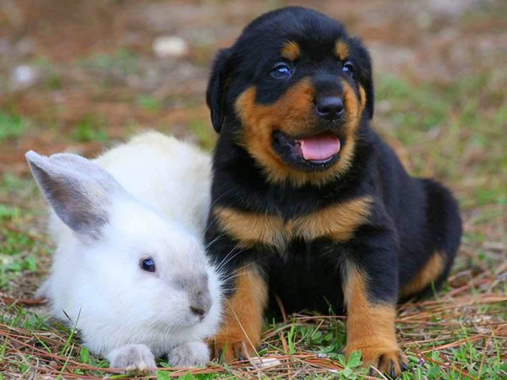 Freepetcare Some Rottweilers Have Been Known To Have Blue Eyes Or