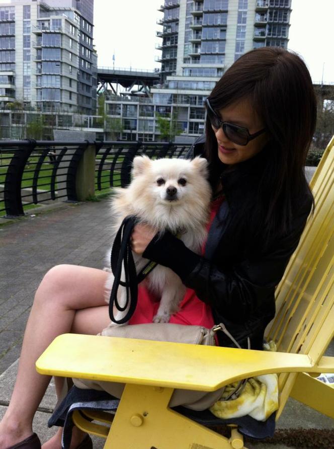 Teddy Bear My Pomeranian Dog Sitting On My Lap In A Big Yellow Chair