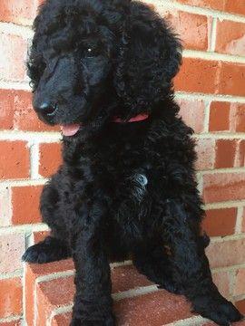 Litter Of 5 Poodle Standard Puppies For Sale In Wichita Falls Tx Adn 35323 On Puppyfinder Com Gender Female Age Puppies For Sale Standard Poodle Poodle