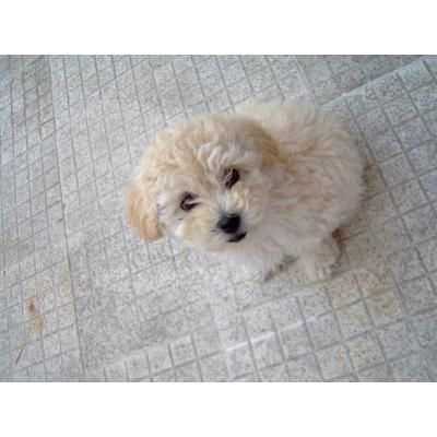 Perros French Poodle Minitoy Imgenes Mil My Lovely Puppies Mis