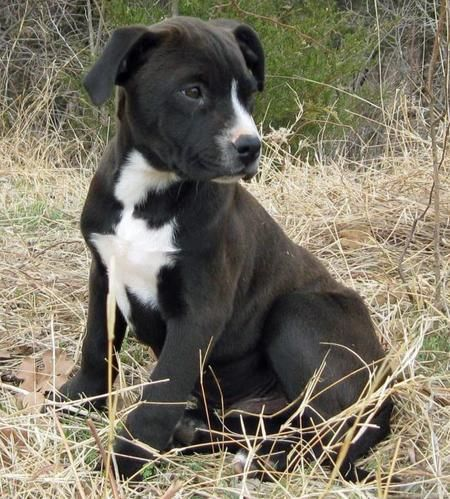 Cowboy The Adoptable Pitbull Labrador Mix Puppies Daily Puppy