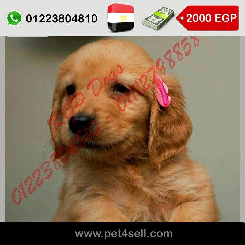 مصر القاهرة انتباه للبيع اجمل جراوي جولدن مطعمين خماسى وديدان بالشهادات هدية عشان كل الناس تفرح بمناسبة اجازة الصيف Pet4se Golden Retriever Retriever Dogs