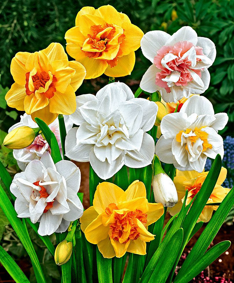 Top 10 Beautiful Spring Flowers For Your Garden Double Daffodils