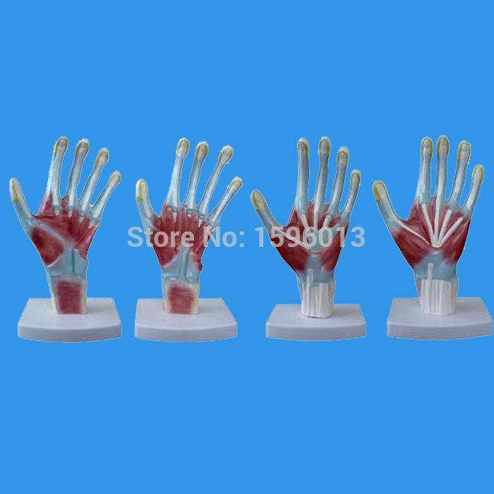 HOT Hand Anatomy model, Palm Model, Anatomical Hand Model | School ...