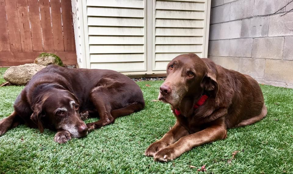 Labrador Retriever Dog For Adoption In Clovis Ca Adn 779193 On