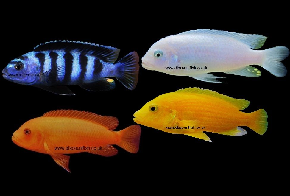The Uk S Number One Aquatic Tropical Fish And Invert Online Store Delivered To Your Door Tropical Fish Tanks Tropical Fish Fish