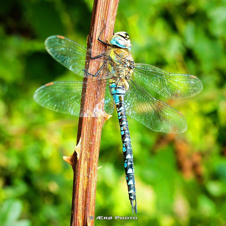 Blue hawker