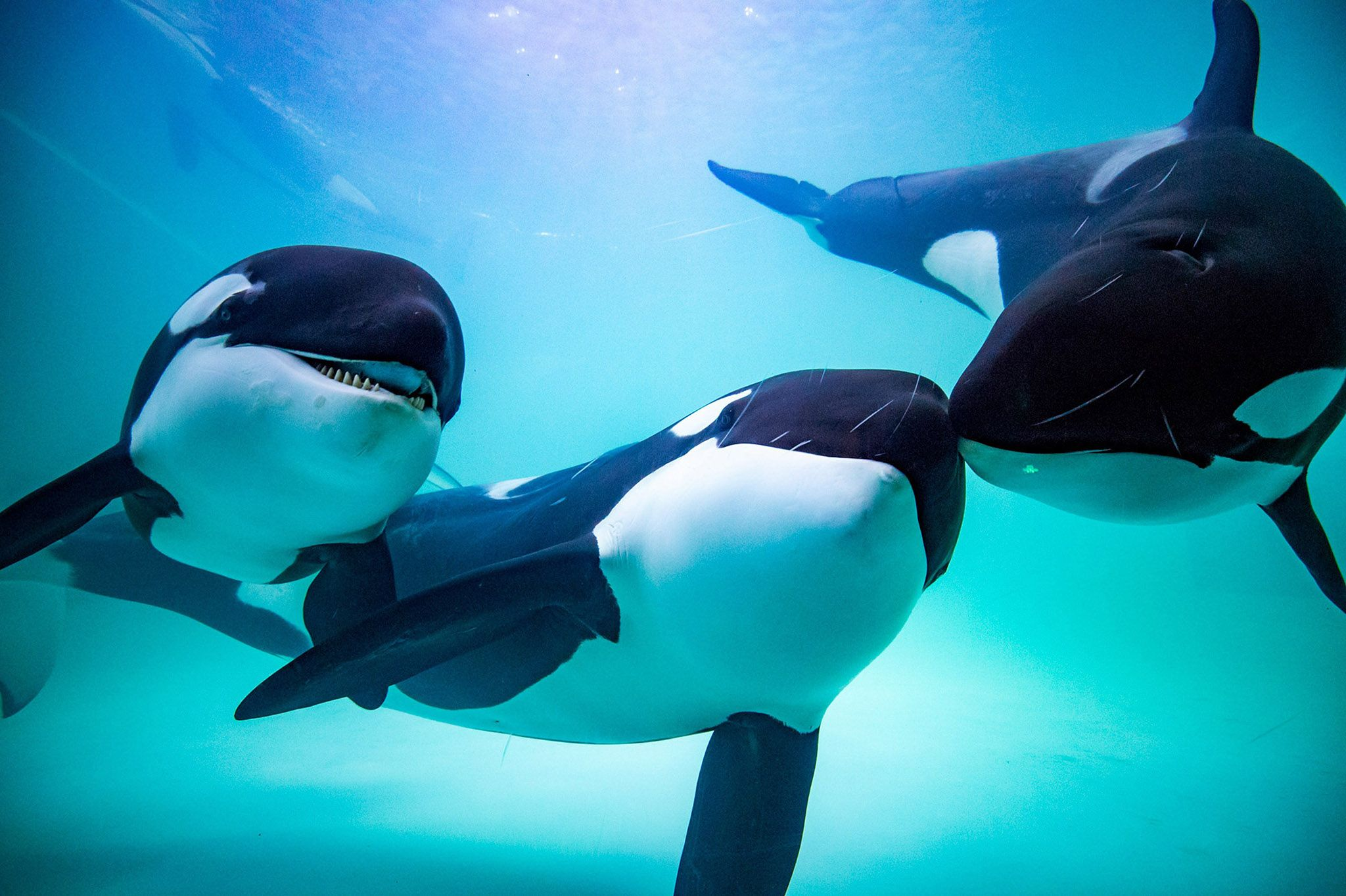 Baby orcas being born wallpaper ocean blue creatures ocean blue creatures pinterest orcas wallpaper and killer whales altavistaventures Images