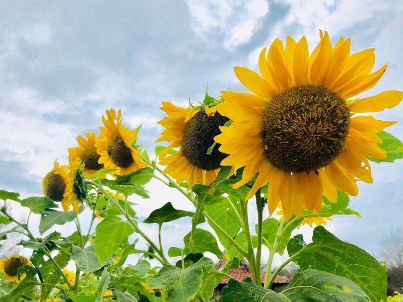 Contoh Gambar Taman Bunga Yang Mudah Digambar Ideku Unik