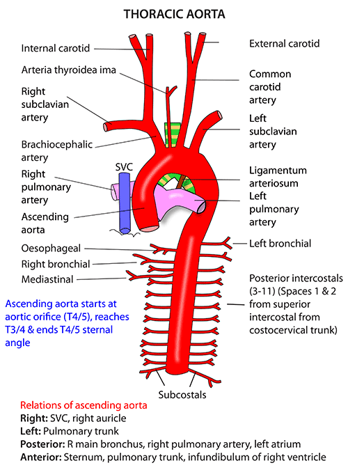 Instant Anatomy - Thorax - Vessels - Arteries - Arch of aorta ...