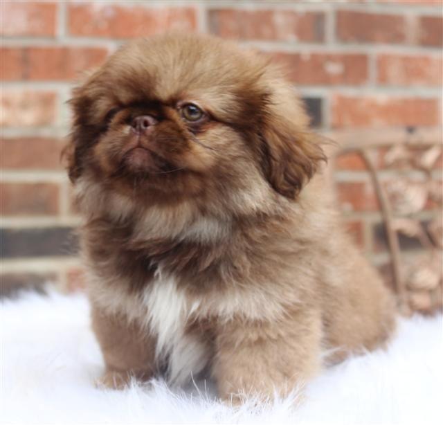 Akc Pekingese Puppies