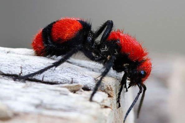 Red Velvet Ant 動物 虫 画像 加工