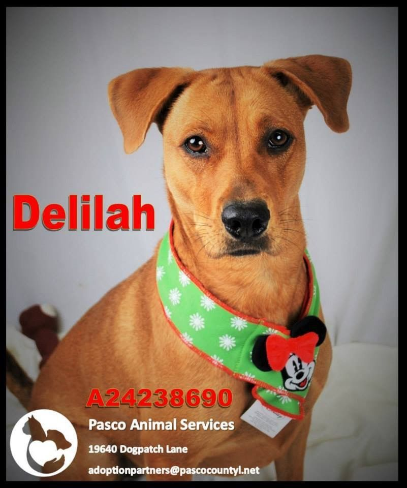 Delilah Is One Of The Dogs Needing A Foster Adopter Rescue At Pasco County Animal Services Land O Lakes Fl Animals Dogs Pasco