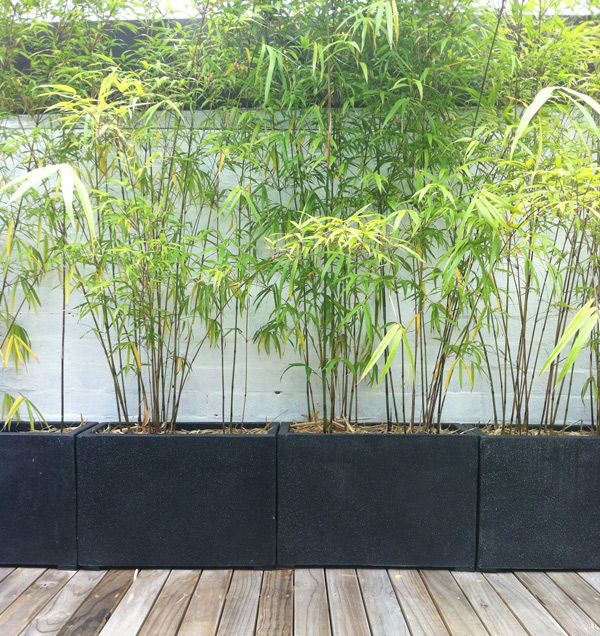 Gardening Advice Annandale Garden Centre Screen Plants Balcony Plants Potted Plants Outdoor
