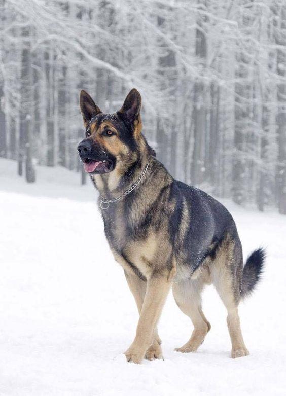 Top 10 Strongest European Dog Breeds Video Ifollow Back German