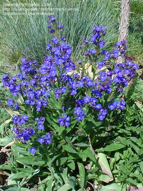 Full size picture of summer forget me not 39 blue angel - How to plant a flower garden for dummies ...