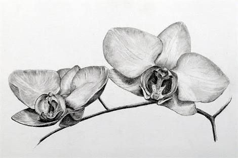 Image Result For Pencil Drawings Orchids With Images Orchid
