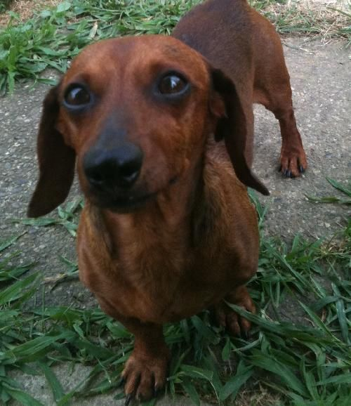 Oscar Pa Mini Dachshund Up For Adoption He Needs A Home With