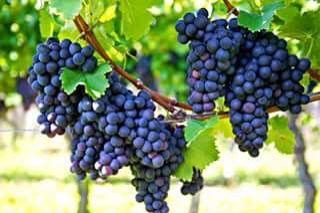 اعناب اليمن Grapes Red Grapes Organic Grape Juice