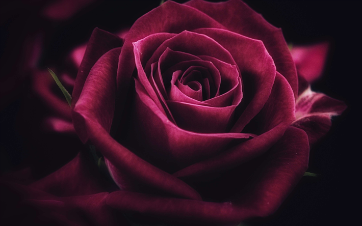 Scarica Sfondi Viola Rosa 4k Il Buio Fiori Viola Close Up Rose Besthqwallpapers Com Rose Flower Wallpaper Flower Close Up Beautiful Rose Flowers