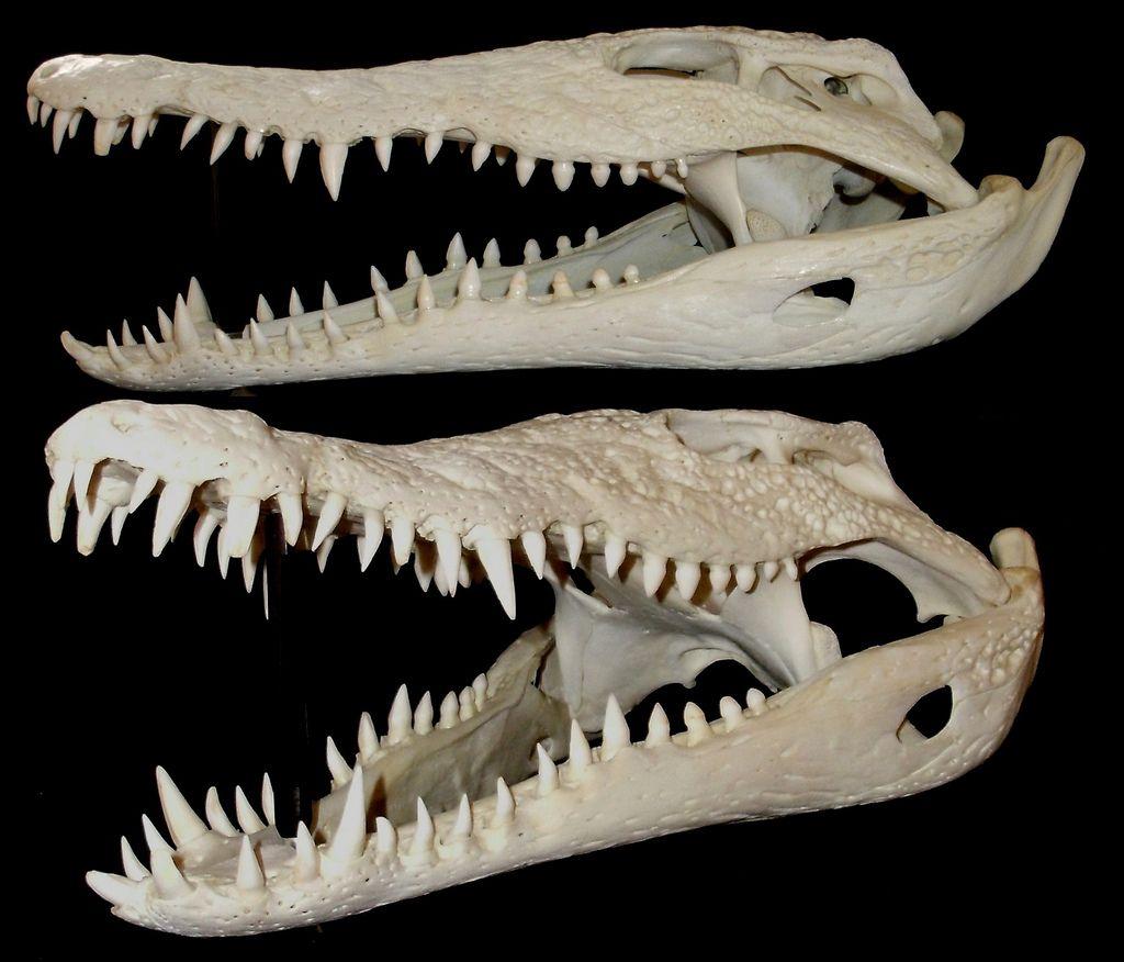Crâne de Crocodile du Nil / Nile Crocodile Skull (Crocodylus ...