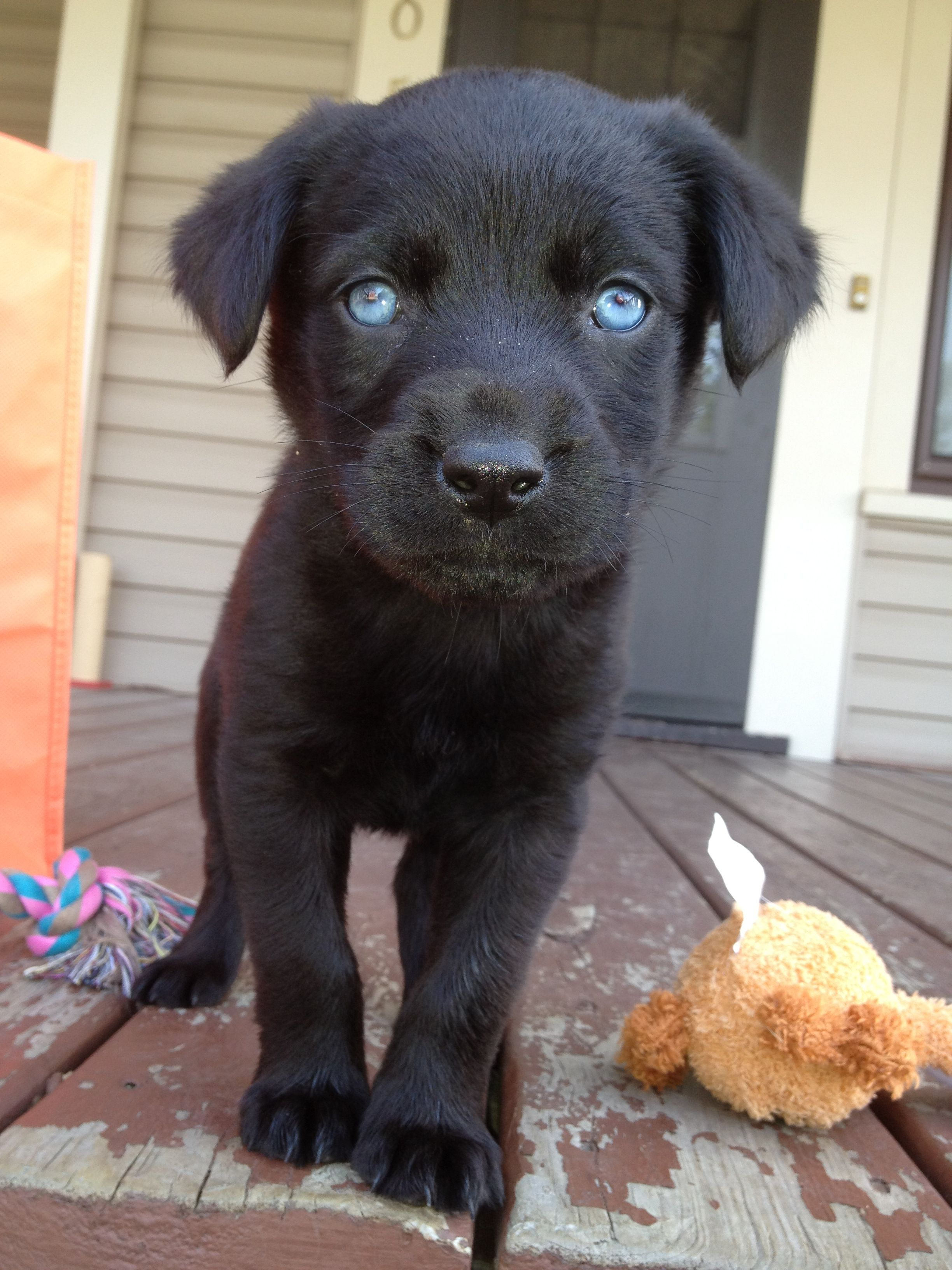 Ah I Cant Even Handle How Cute She Is Black Lab Rottweiler Husky Mix With Pretty Blues Rottweiler Mix Baby Dogs Dog Activities