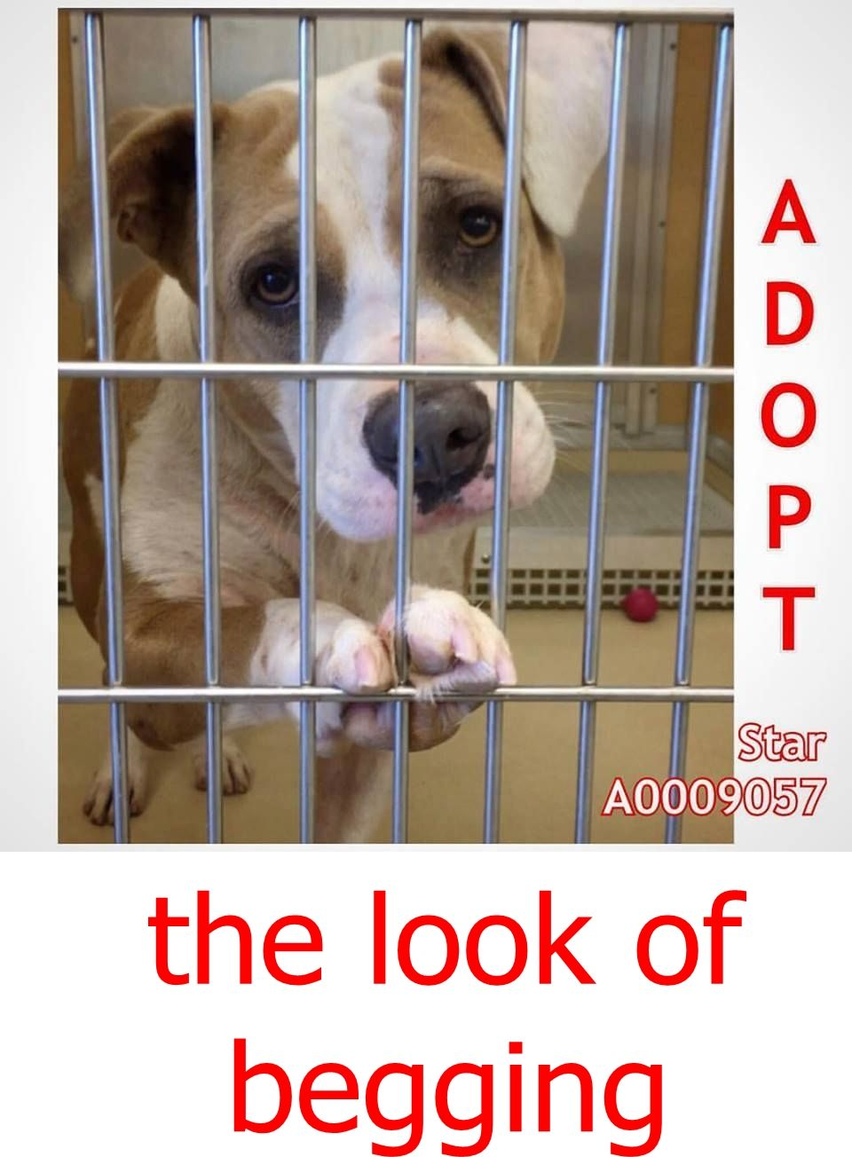 Star A0009057 Is About 5 Years Old American Bulldog Boy He Has