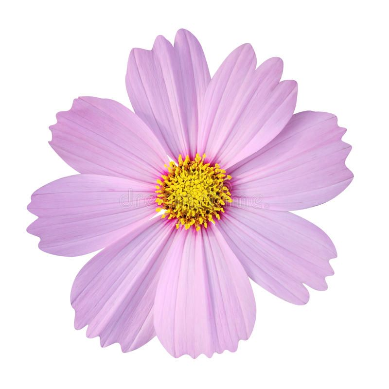 Cosmos Flower Isolated On White Background Stock Photography In 2020 Cosmos Flowers Flowers White Background