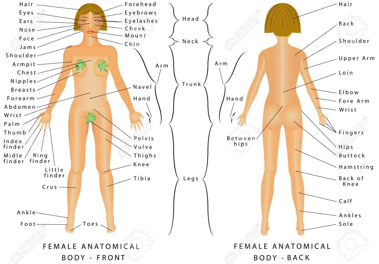 Anatomy Drawing Female Female Human Body Pictures Female Human