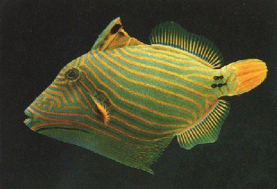Undulate Triggerfish Colorful Fish Sea Fish Fish