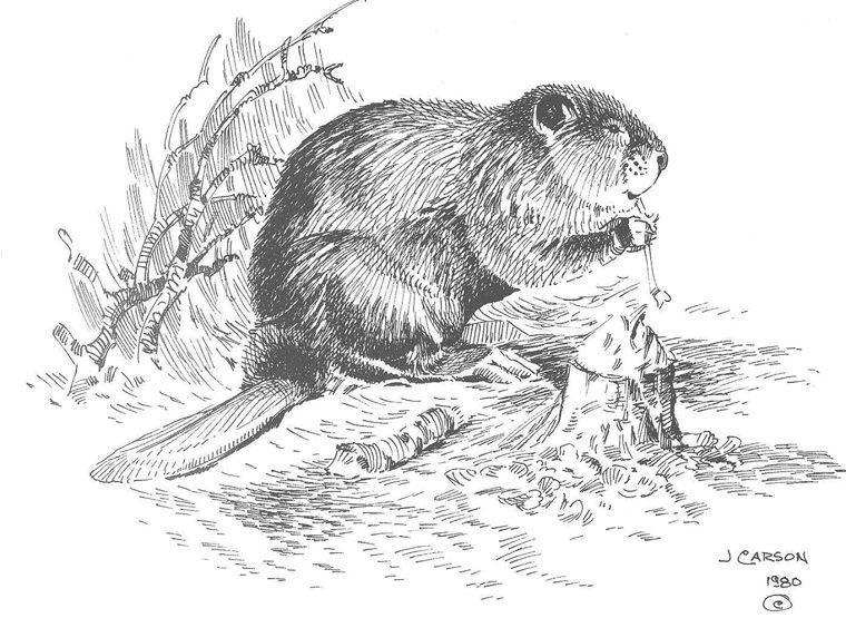 Classic Beaver Drawing Beaver Drawing Drawings Beaver Pictures