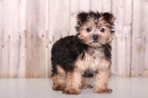 Morkie Puppy For Sale In Mount Vernon Oh Adn 52124 On Puppyfinder Com Gender Male Age 9 Weeks Old Morkie Puppies Morkie Puppies For Sale Puppies For Sale