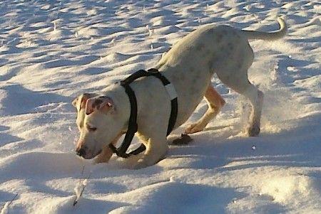 Snow Bullterrier Amstaff Mix Geb 2014 Fast Taub Vertraglich Wartet Auf Einer Pflegestelle Http Kampfschmuser Vermittlungs Bullterrier Hunde Tierheim