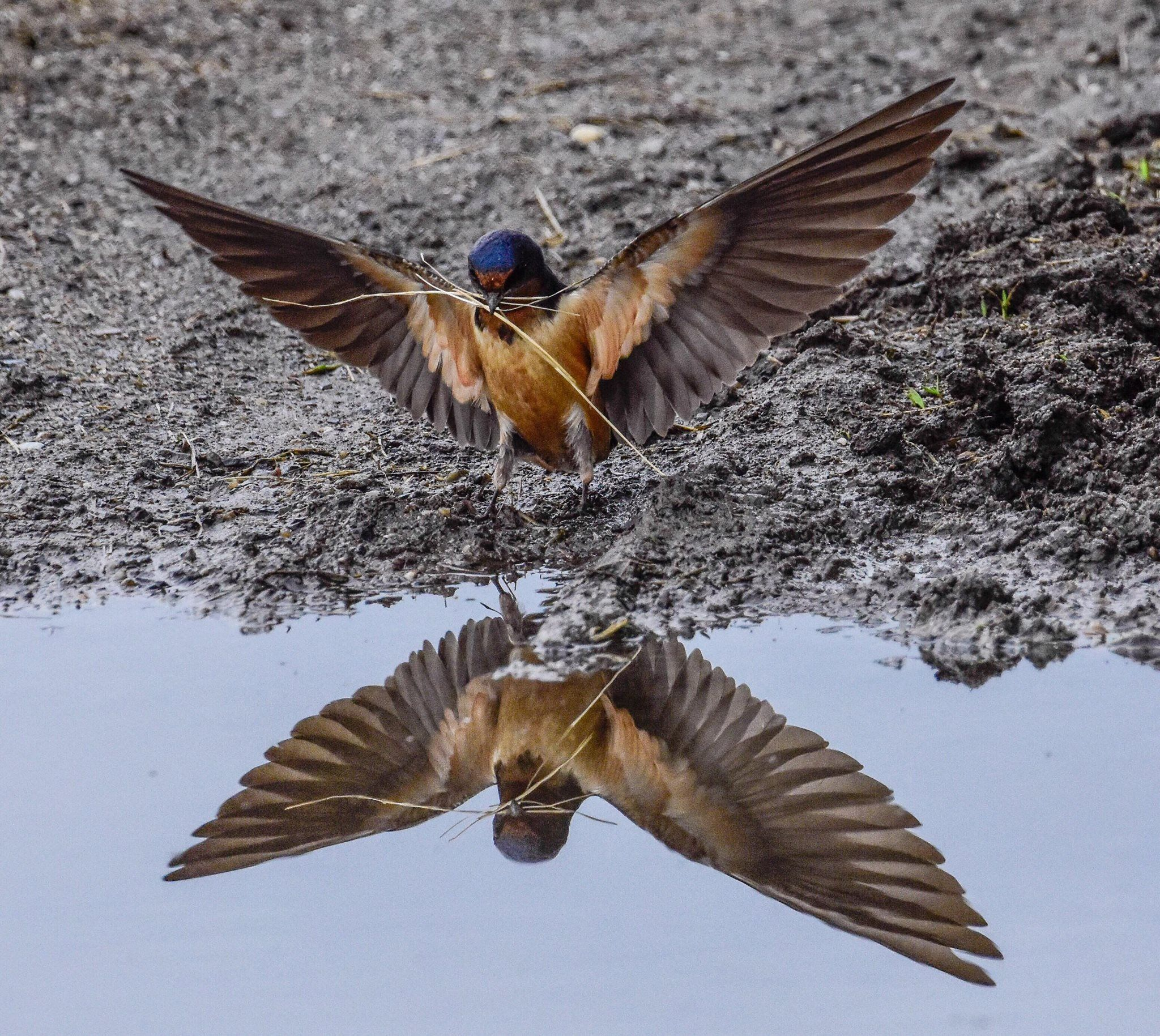 Photo of barn swallow by Rob Swanson in Grand Isle ...