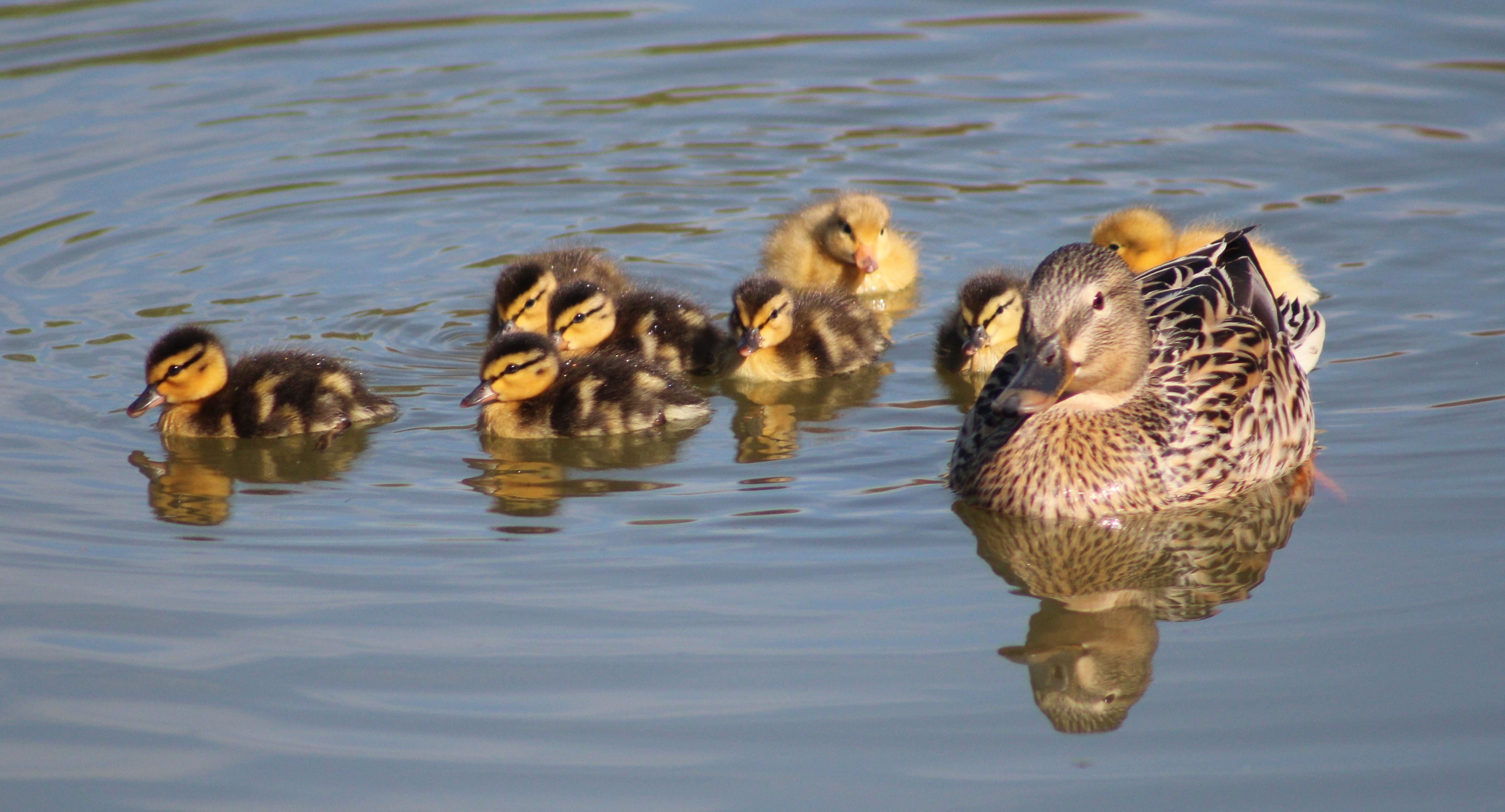Duckie Reflections Photography By Sandy Mixon Virginia Water