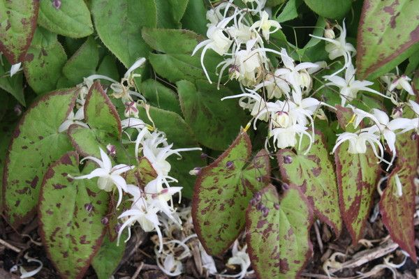 Epimedium Picture Frame -   9 plants Pictures awesome
