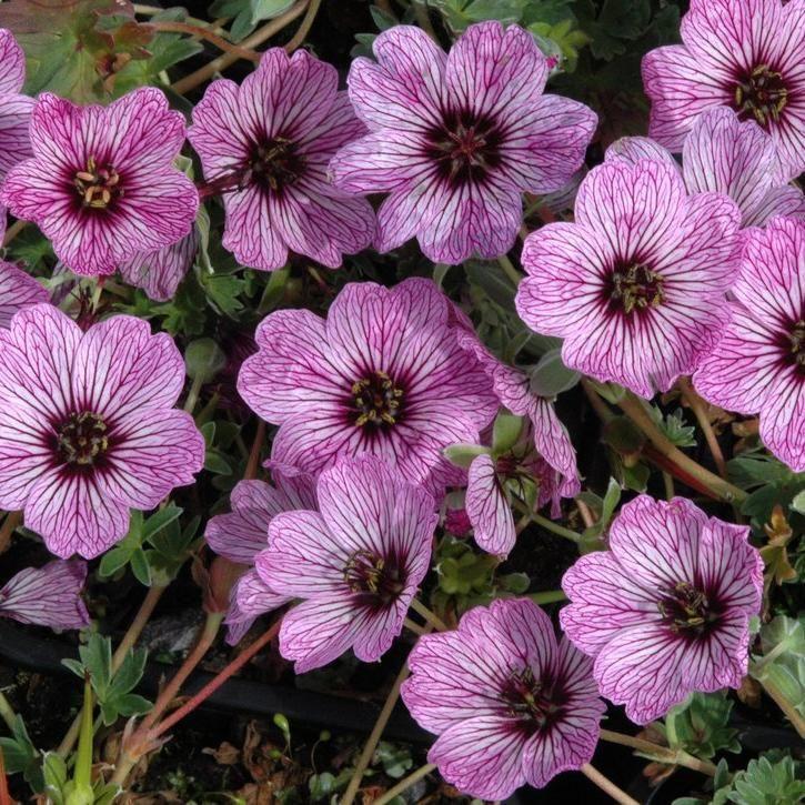 petits g raniums g ranium cendr geranium cinereum jardin et vivaces geranium vivace. Black Bedroom Furniture Sets. Home Design Ideas