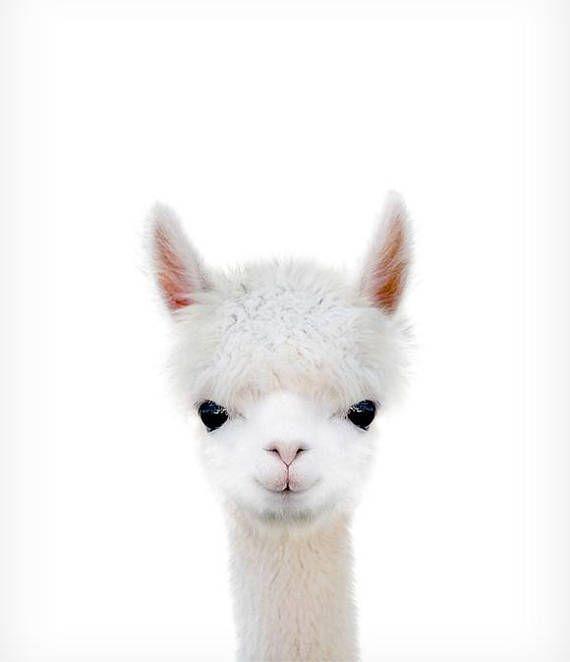 Baby alpaca print, Nursery wall decor, Farm animal prints, The Crown Prints, Nursery art, Llama print, Baby animal prints, Nursery prints