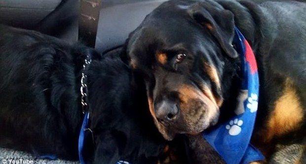 Brutus il rottweiler che piange il fratellino morto:il video virale commuove il web
