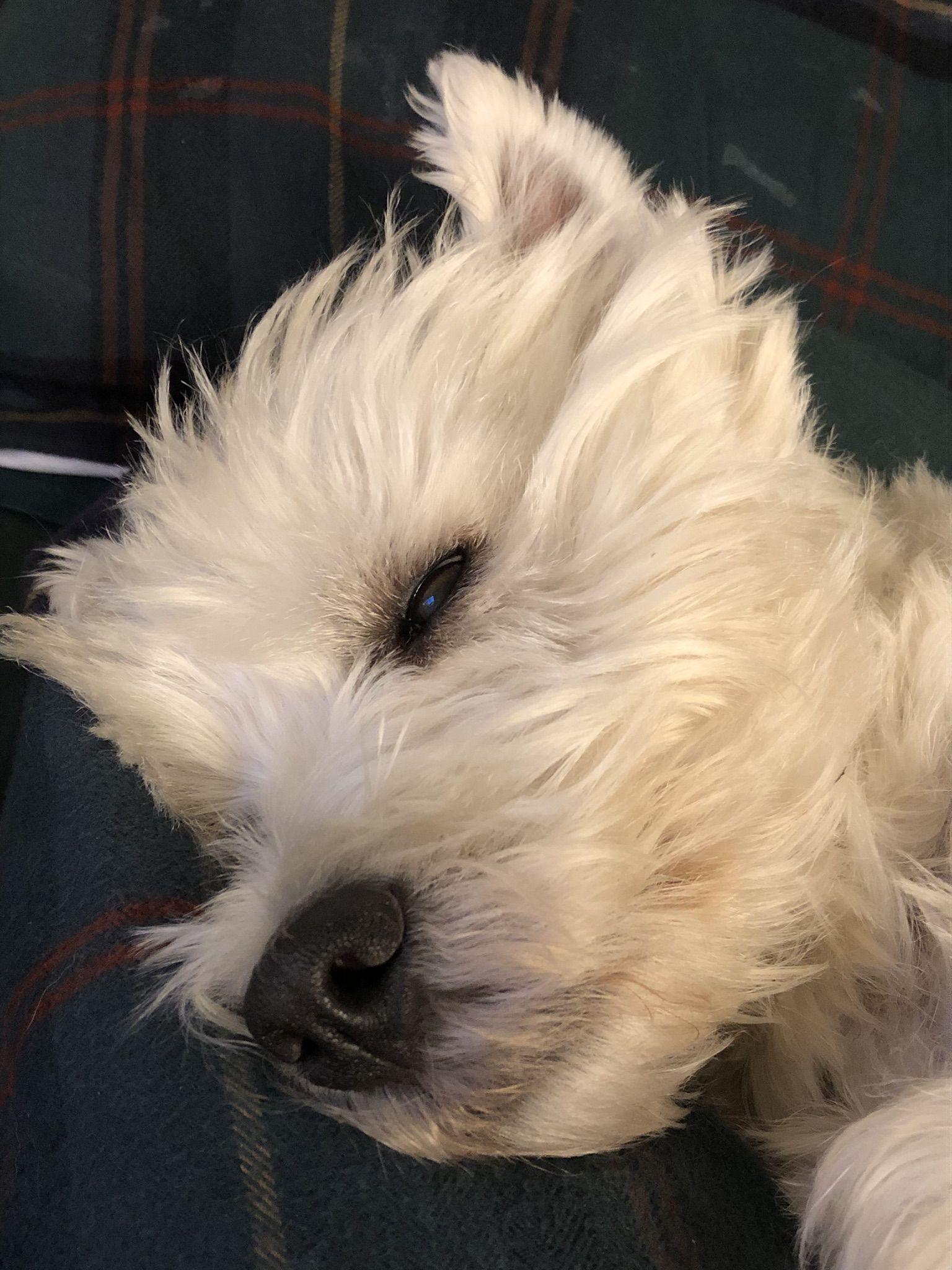 Pin By Nancy Goins Ford On Westie World Westie Dogs Westie