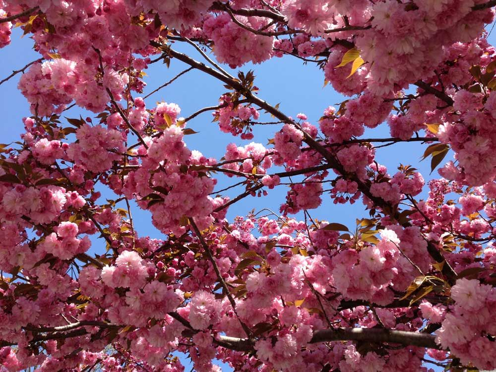 Pin by andrea s hayeck dental associates on westfield nj discover ideas about spring flowering trees mightylinksfo