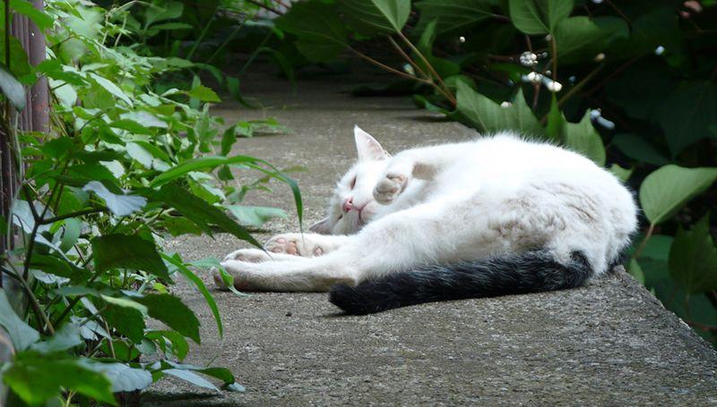 お昼寝最中にゃ~の猫(A-007)猫写真-横浜 #猫写真